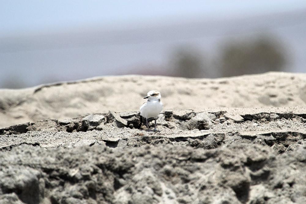 Western snowy plover chick.  (Photo: Travis Wooten, San Diego Zoo Global on MCB Camp Pendleton)