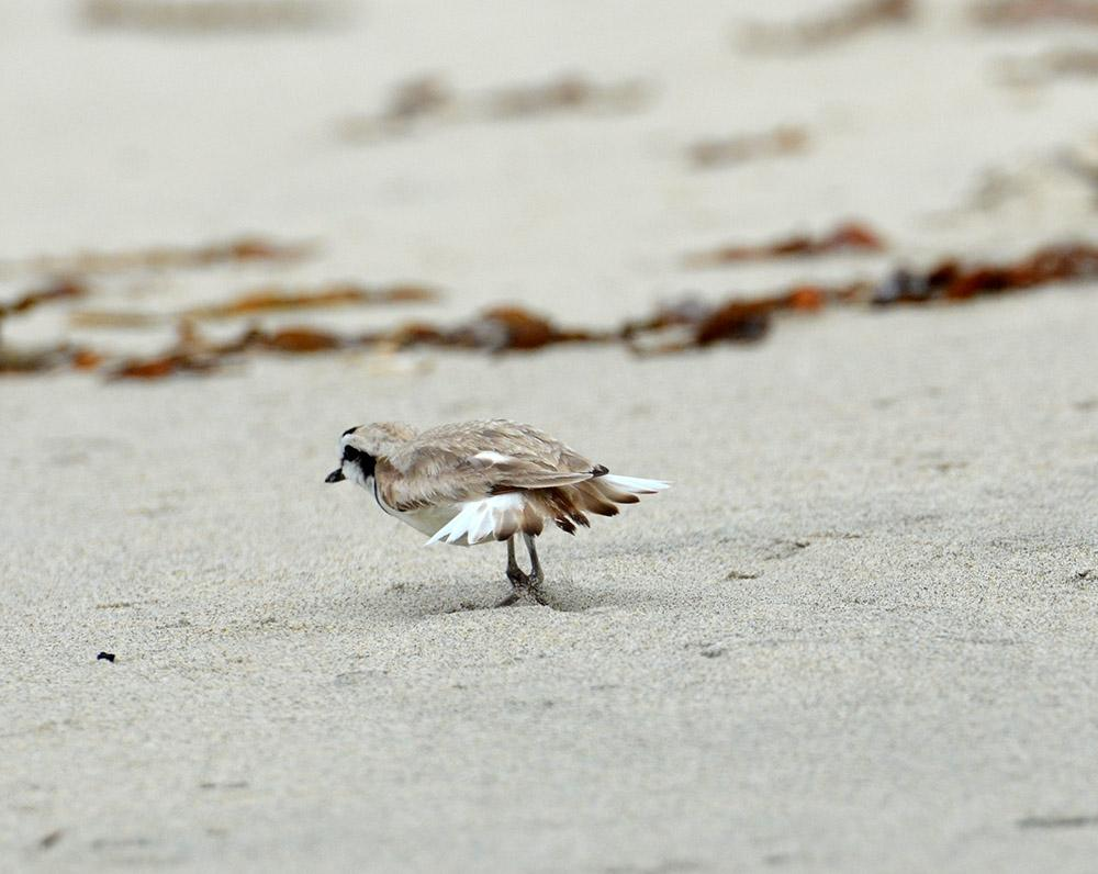This male plover is doing his best to distract the researchers away from his offspring. Photo by Emily Rice, SDZG on MCB Camp Pendleton