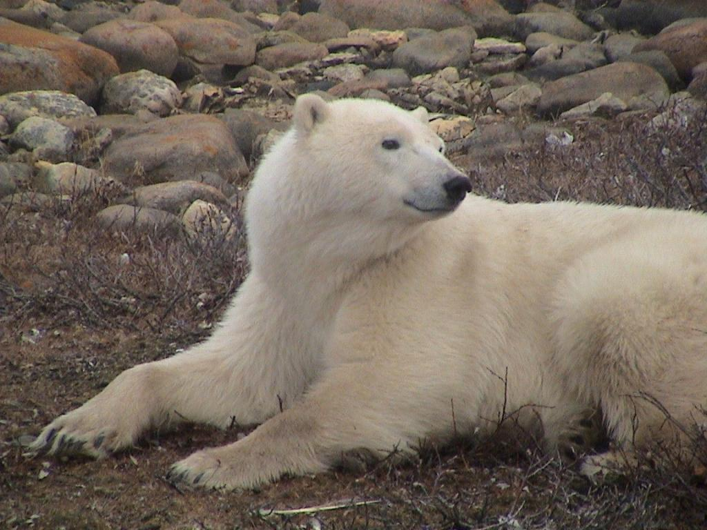 Polar bear resting on land in Hudson Bay. Photo credit: Megan A. Owen.