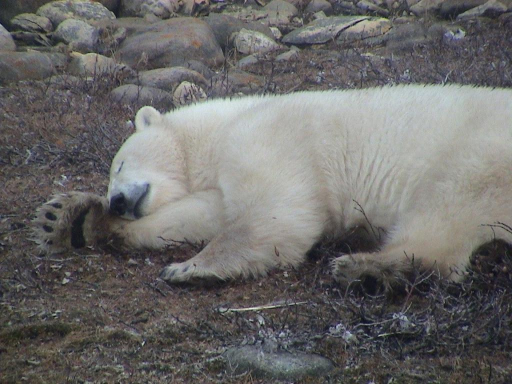 Polar bear sleeping on land in Hudson Bay. Photo credit: Megan A. Owen.