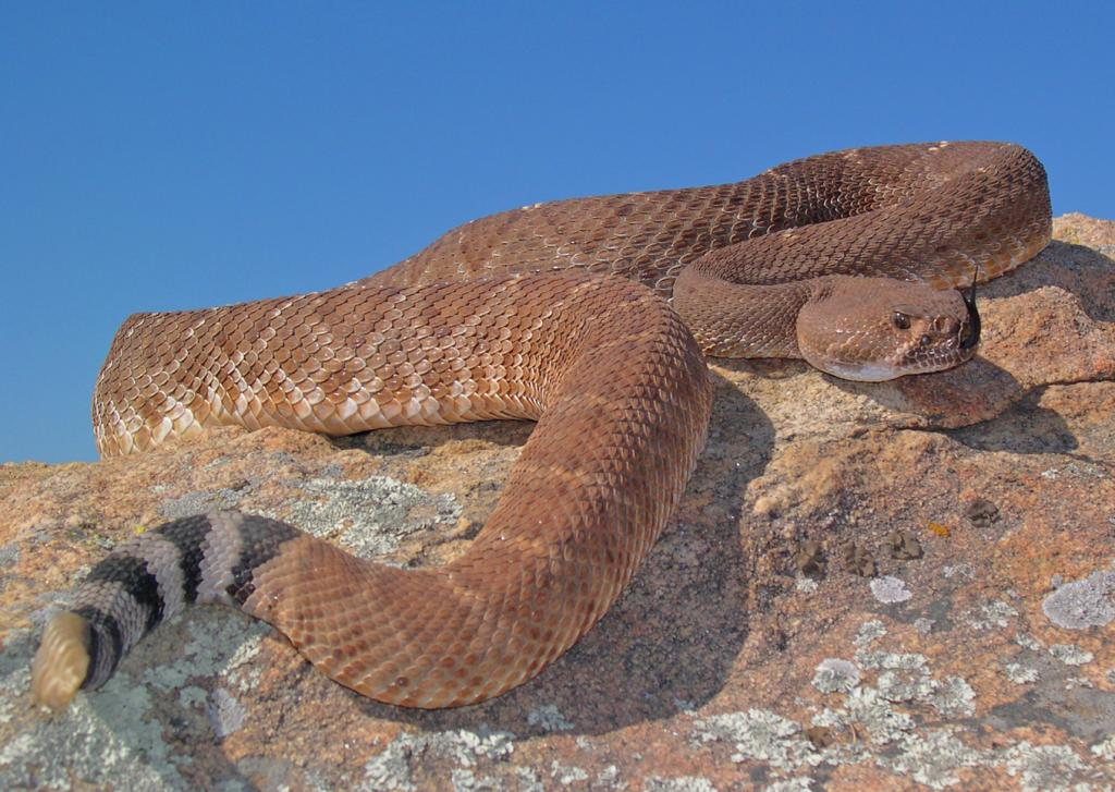 The red diamond rattlesnake (Crotalus ruber) is a protected species. They have a calm demeanor for a rattle snake, and if encountered, they should be left alone to wander off into the brush.