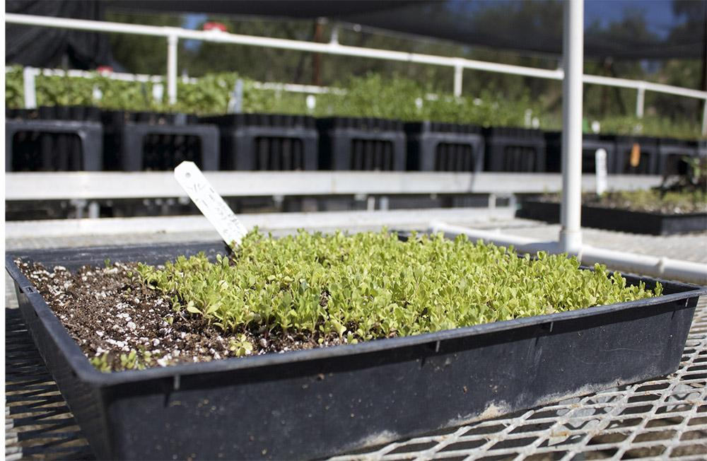 Native plant seeds are sprouted and raised in the nursery area at the Beckman Center for Conservation Research.