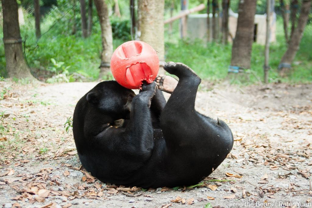 A sun bear playing with a ball at a Free the Bears rescue center. Photo credit: Free the Bears.