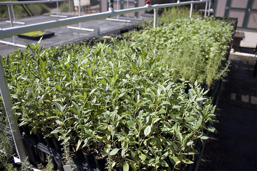 These seedlings will be used to help restore Coastal Sage Scrub habitat at Lake Hodges.