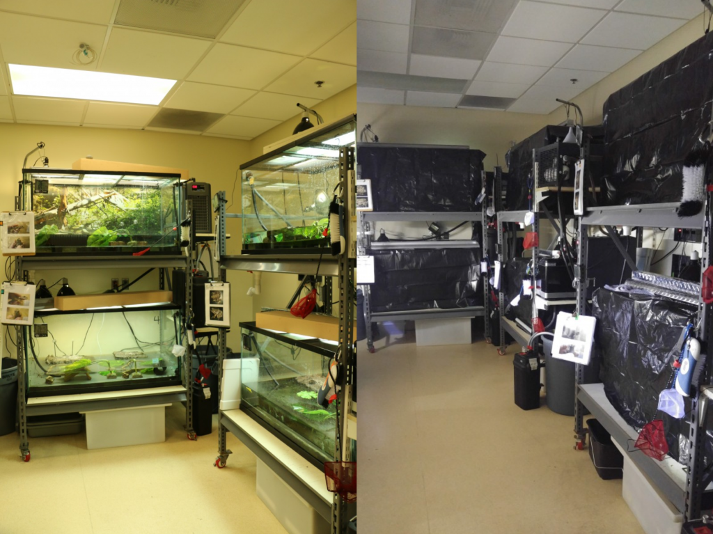 Some of the Institute for Conservation Research's mountain yellow-legged frog tanks when animals are not hibernating (left), versus when they're in hibernation (right).