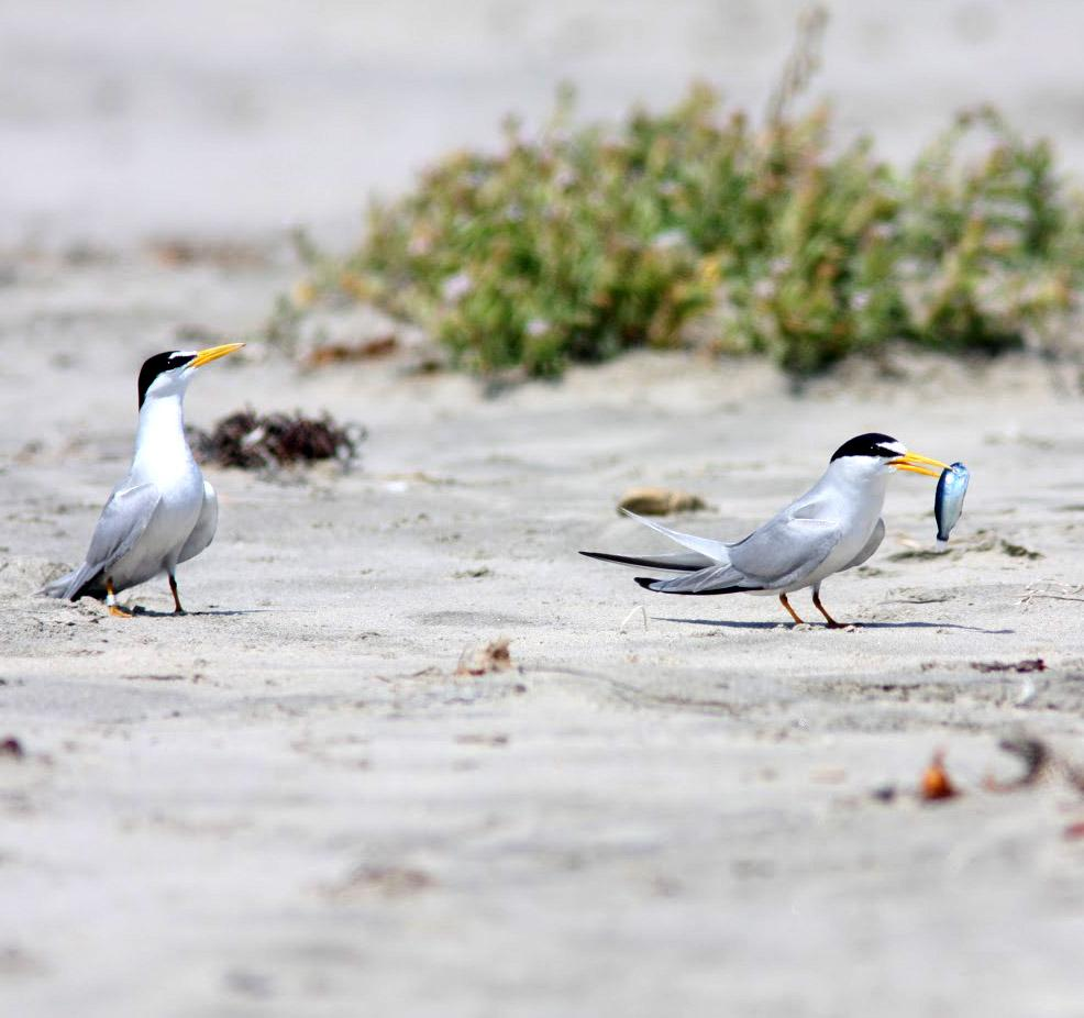 Presenting food to a potential mate is part of the least tern's courtship ritual. (Photo: Rachel Smith, SDZG on MCB Camp Pendleton)