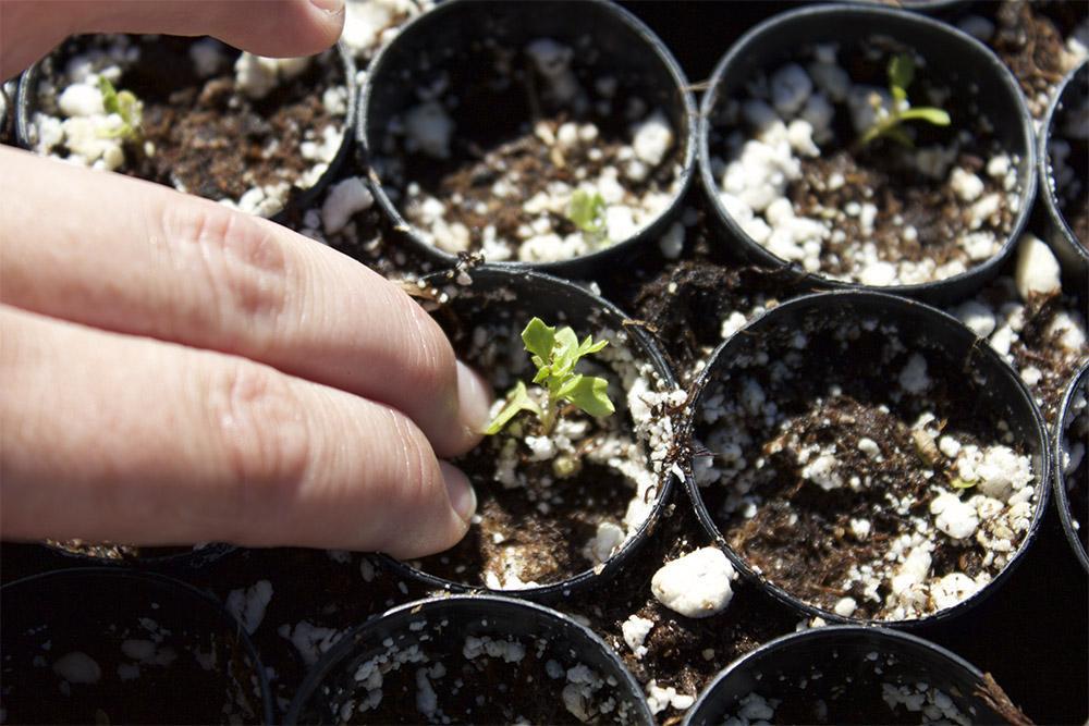Transplanting fragile seedlings is a delicate but rewarding task.