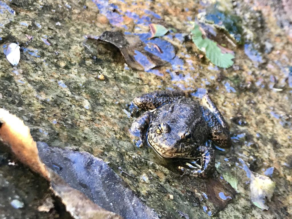 A reintroduced mountain yellow-legged frog – individual D072 - in his natural habitat in the San Bernardino mountains. This male was released as a tadpole in 2016, and has been re-sighted multiple times in 2017, 2018, and 2019. He has caught and cleared chytrid multiple times.