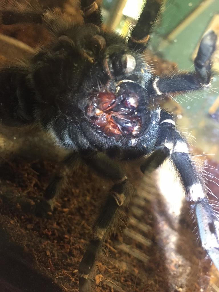 A close look at the mouth parts of this Brazilian White-knee Tarantula.