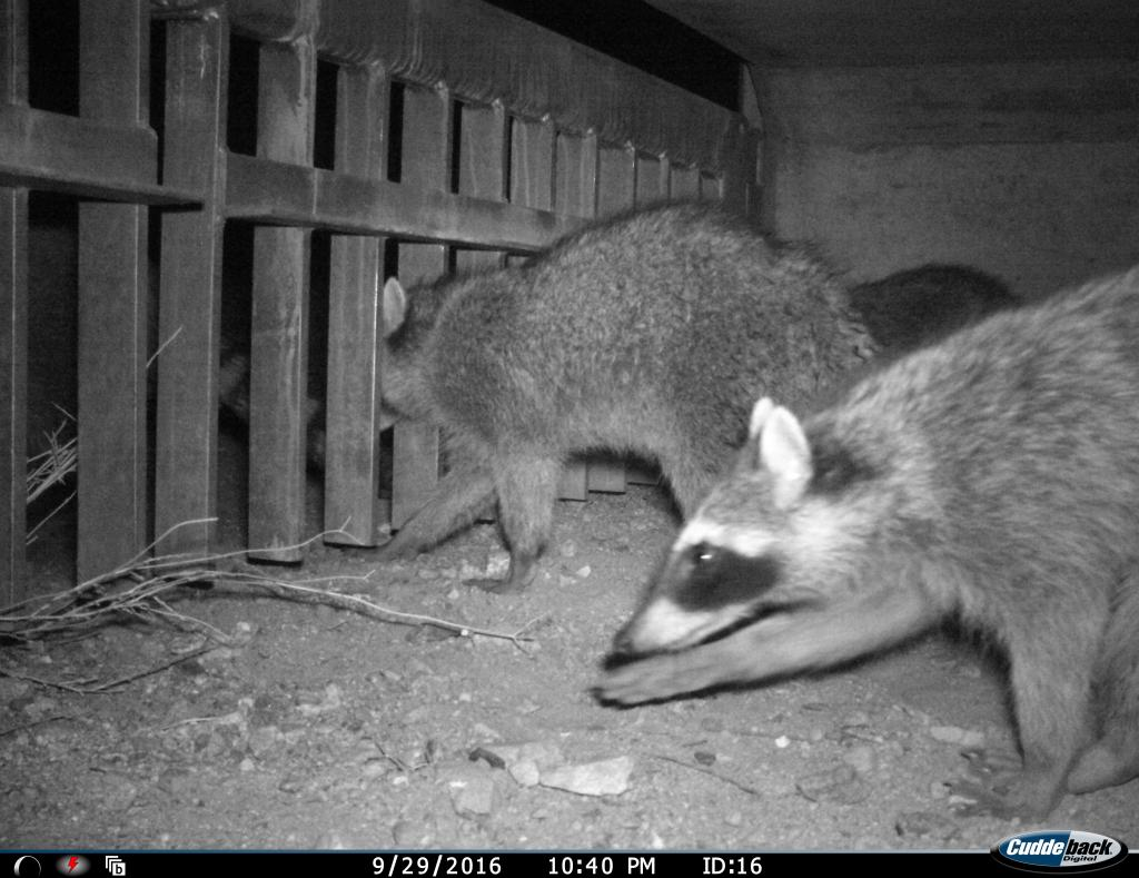 The wildlife culverts are used by many different species.