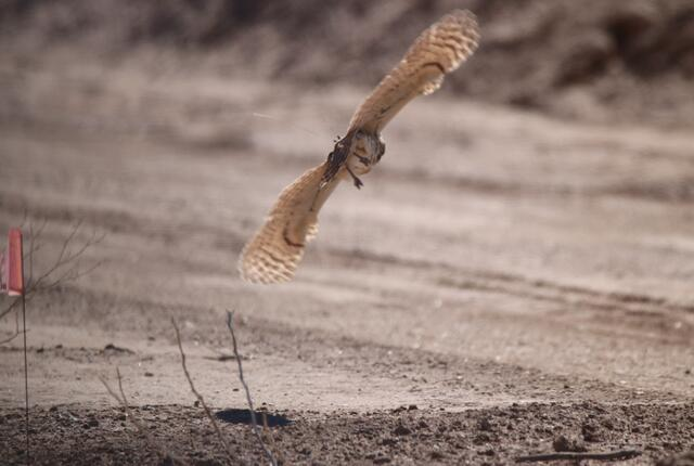 burrowing owl in flight with a transmitter